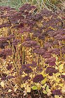 Sedum spectabile cultivar in late November autumn