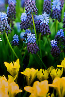 Muscari Grape hyacinth and tulips