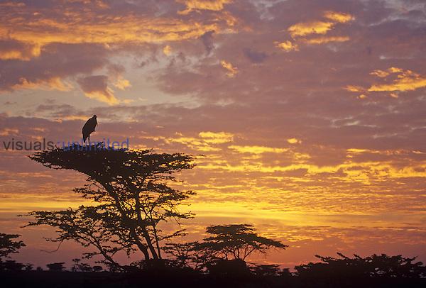 Marabou Stork in an Acacia tree at twilight on the savanna ,Leptoptilos crumeniferus,, Kenya, Africa.