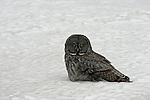 Owl In The Snow<br />