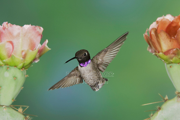 Black-chinned Hummingbird, Archilochus alexandri, male in flight feeding on Texas Prickly Pear Cactus (Opuntia lindheimeri), Uvalde County, Hill Country, Texas, USA