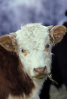 Hereford calf in angelic light