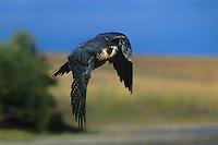 527950028 a captive falconers peregrine falcon falco perigrinus flies above a small lake in central colorado