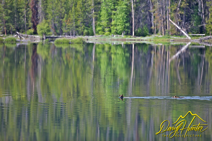 Swimming Grizzly Bear cubs, Oxbow Bend, Grand Teton Park
