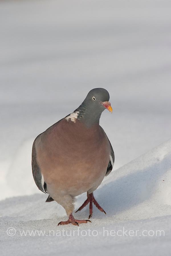 Ringeltaube, Ringel-Taube, Ringel - Taube, Columba palumbus, Wood Pigeon, woodpigeon, Pigeon ramier