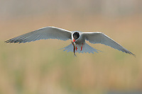 A common tern hovers over a swamp with a minnow in its bill.