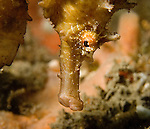 Seahorse Close up, Hippocampus erectus