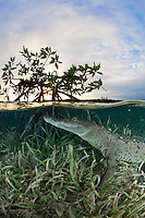 TH4069-D. American Crocodile (Crocodylus acutus) rests just under the surface in seagrass next to a Red Mangrove (Rhizophora mangle) tree at sunset. This species inhabits both fresh and saltwater. It feeds on fish, crabs, turtles, birds, and even mammals such as deer. Cuba, Caribbean Sea.<br /> Photo Copyright &copy; Brandon Cole. All rights reserved worldwide.  www.brandoncole.com