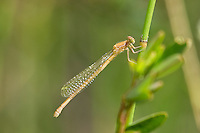 337850007 a wild very teneral female painted damsel hesperagrion heterodoxum perches on a water plant leaf on the membis river near royal john mine road grant county new mexico united states..GPS:N 32.73066.         W -107.86653