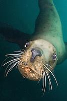 Steller Sea Lion, Eumetopias jubatus, aka northern sea lion, Race Rocks, British Columbia, North Pacific Ocean.