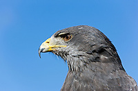 Black-chested Buzzard-Eagle (Geranoaetus melanoleucus). Captivity.
