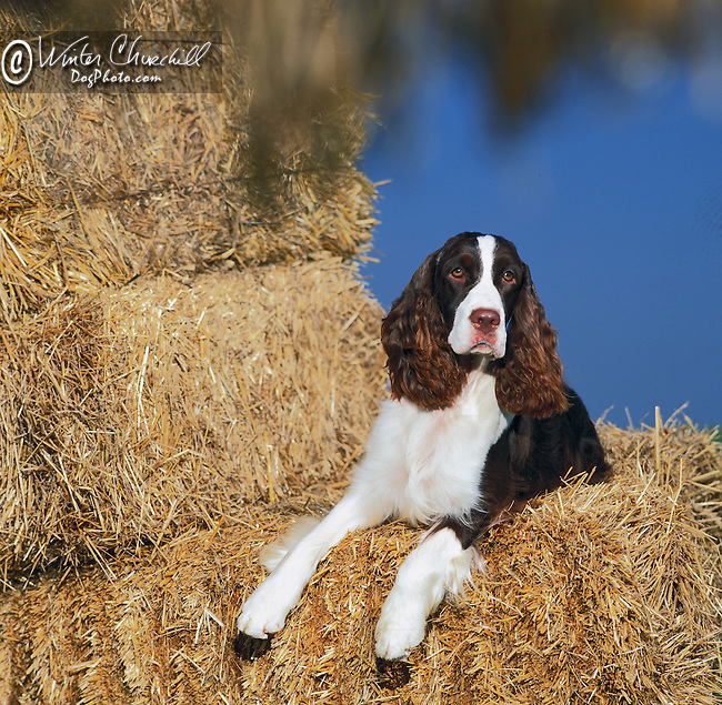 english springer spaniel in the hay<br /> <br /> <br /> <br />  Shopping cart has 3 Tabs:<br /> <br /> 1) Rights-Managed downloads for Commercial Use<br /> <br /> 2) Print sizes from wallet to 20x30<br /> <br /> 3) Merchandise items like T-shirts and refrigerator magnets