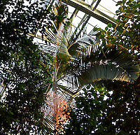 Tropical rainforest glasshouse (formerly Le Jardin d'Hiver), 1936, René Berger, Jardin des Plantes, Museum National d'Histoire Naturelle, Paris, France. View from below of a Howea Forsteriana palm tree in the middle of Ficus Glabella foliage against the glass and metal structure of the Art Deco building.