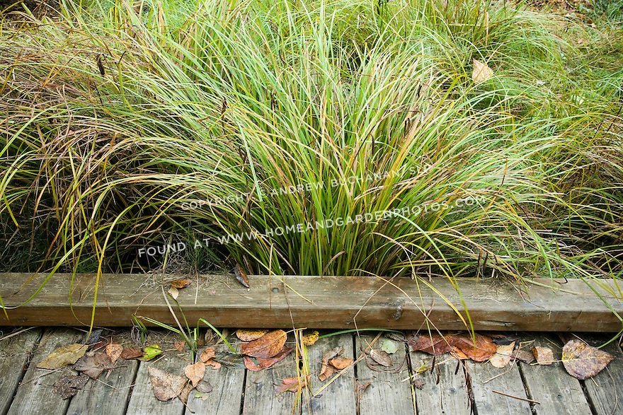 Df015817 seattle park fall stock for Ornamental grass edging