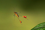 Flag Footed Bug, Anisocelis flavolineata, in flight, Costa Rica, High Speed Photographic Technique, flying, passion fruit vine bug, red with orange, tropical jungle.Costa Rica....