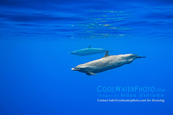 Pantropical Spotted Dolphins, Stenella attenuata, with well developed gulge behind anus characteristic of large adult male, off Kona Coast, Big Island, Hawaii, Pacific Ocean