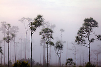 Pine trees loom out of the pre-dawn fog on the sawgrass prairie of Everglades National Park, Florida.