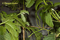 OR07-545z  Walking Stick Insect, juvenile camouflaged on tree,  Acrophylla wuelfingi