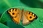 Peacock Pansy Butterfly, Precis almana, Thailand, South Asia.Thailand....