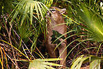 Florida panther, Florida (captive)