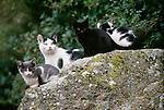 Domestic cat and kittens, Italy