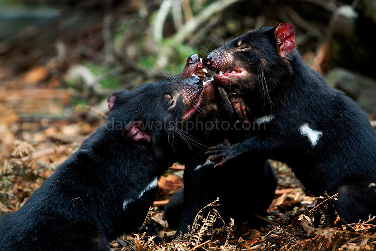 Three Captive Tasmanian Devils  at Tasmanian Devil Conservation Park, near Taranna, Tasmania, Australia, fighting over wallaby meat. ....Most of the devils I photographed over the last week were either recovering from injuries, or orphans, seperated from parents suffering from the Tasmanian Devil Facial Tumor Disease, which is a contagious cancer.