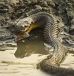 Diamondback water snake with small fish fry in his mouth, made at a Missouri Conservation Area