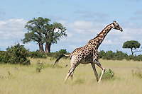 A giraffe running through the grass, Botrswana, Africa