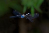 339360081 a wild male blue-eyed darner rhionaeschna multicolor in flight over small creek at empire cienega natural conservation area pima county arizona