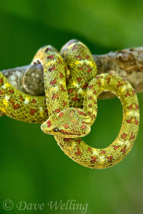 489180006 a captive yellowish green and red spotted eyelash viper bothriechis schlegelii sits coiled on a tree limb species is native to south and central america