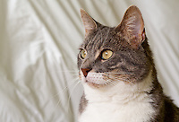 Bertie, a blue tabby and white shorthair cat, looking outside in front of a mottled white background.
