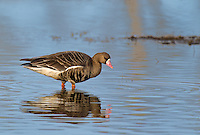 537260016 a wild  greater white-fronted goose anser albifrons at colusa national wildlife refuge califonia