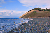 The beach at Eb\ey's Landing National Historic Preserve provides spectacular views across Admiralty Inlet.  Gulls and Eagles soar on winter wind above bluffs topped by historic farmland. Olympic Peninsula