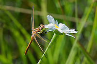 362770006 a wild male striped meadowhawk sympetrum pallipes perches on a white wildflower near cave creek campground in modoc county california
