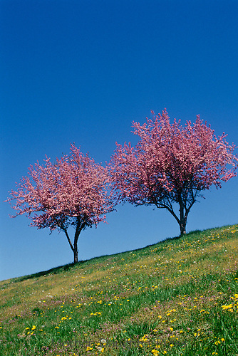Two pink crab apple trees stand together blooming in spring on a steep hillside in spring, New England, Vermont