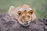 Young male Lion resting on a termite mound, Masai Mara, Kenya