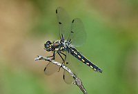 389330009 a wild female hoary skimmer libellula nodisticta perches on a dead twig in fish slough mono county callifornia