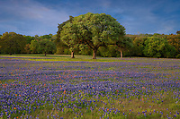 Field of Texas Paintbrush and Texas Bluebonnet wildflowers and a Live Oak Tree, Texas Hill Country near Brenham, Texas, USA.
