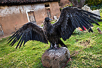 A captured Andean condor shows its wings before the Yawar Fiesta, a ritual fight between the condor and the bull, held in the mountains of Apurímac, Cotabambas, Peru, 28 July 2012. The Yawar Fiesta (Feast of Blood), an indigenous tradition which dates back to the time of the conquest, consists basically of an extraordinary bullfight in which three protagonists take part - a wild condor, a wild bull and brave young men of the neighboring communities. The captured condor, a sacred bird venerated by the Indians, is tied in the back of the bull which is carefully selected for its strength and pugnacity. A condor symbolizes the native inhabitants of the Andes, while a bull symbolically represents the Spanish invaders. Young boys, chasing the fighting animals, wish to show their courage in front of the community. However, the Indians usually do not allow the animals to fight for a long time because death or harm of the condor is interpreted as a sign of misfortune to the community.