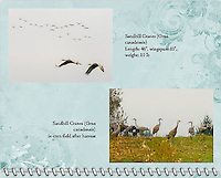 "January of the 2014 Birds of a Feather Calendar. Photo is called ""Sandhill Crane Duo Flight"" and ""Sandhill Cranes In Field"".  A herd of Sandhill Cranes (Grus canadensis) are in a cut down corn field during their migration stop over in the Ridge Field National Wildlife Refuge area against a gray sky day."
