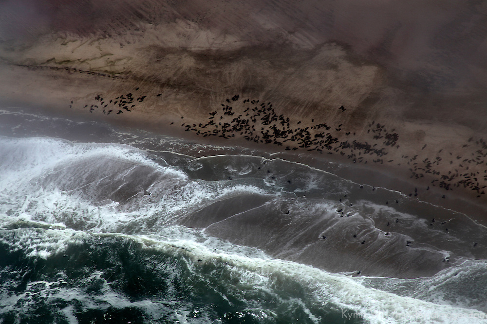 Africa, Namibia, Swakopmund. Cape Fur Seal Colonies on the coastline of Namibia.