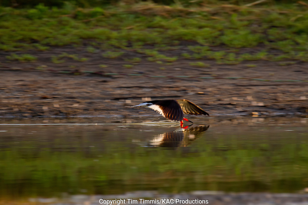 Black Skimmer, Rynchops niger, Bryan Beach, Texas gulf coast, skimming with beak in water, splashing water, reflection, back lighting