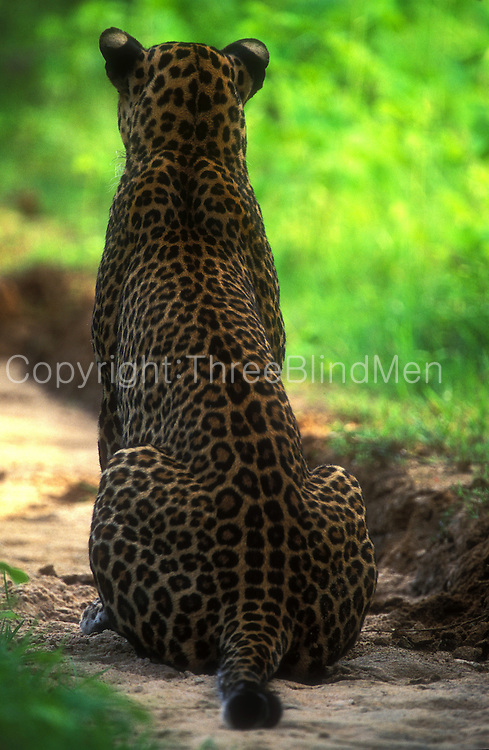 A young male  leopard sits upright in a shallow ditch, watching and listening to distant deer.