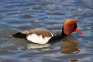 The red-crested pochard (netta rufina )is my favourite duck, because of its amazing haircut and noble bearing. I took this picture in the reserve of Pont de Gau in Camargue, France. This nice guy was kind enough to swim very close to the shore and also at a reduced speed, just what I was hoping for photographing it in great details and sharpness. A perfect model indeed.