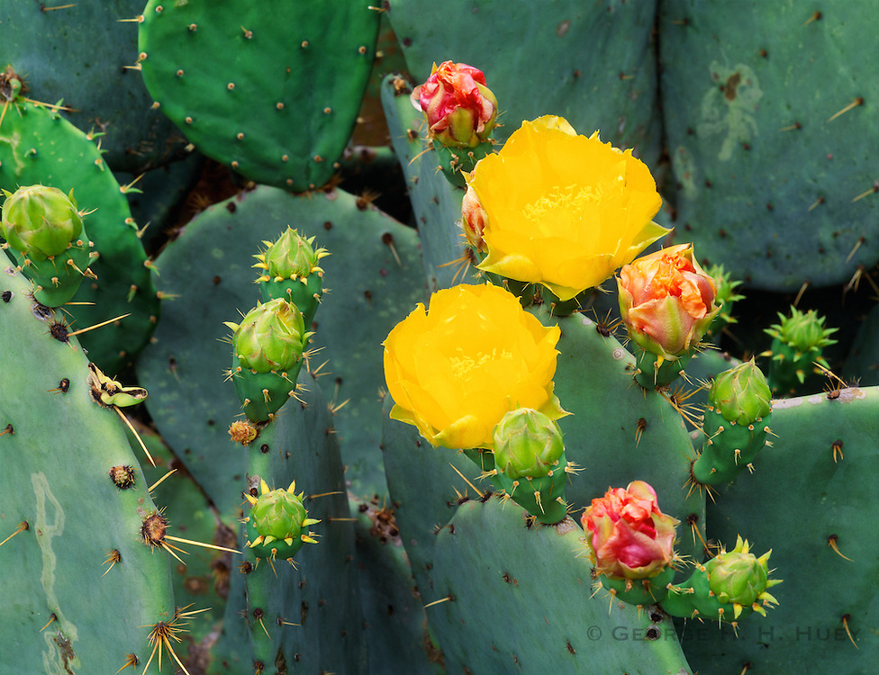 0506-1040B ~ Copyright: George H. H. Huey  ~  Prickly pear cactus in bloom [Opuntia engelmannii]. San Antionio Missions National Park, Texas.