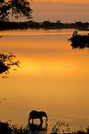 African elephant at sunset, Loxodonta africana, Chobe River, Botswana
