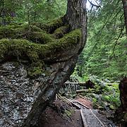 A tree grows atop a rock over Barclay Creek Trail near Baring, US Highway 2, Washington, USA.