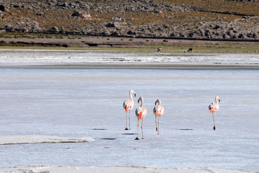 Flamingos on the Salar de Uyuni, Bolivia