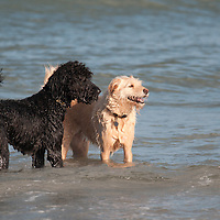 These beach buddy dogs were playing together in Maine.