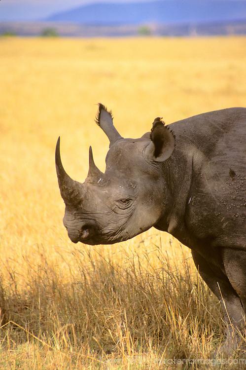 Africa, Kenya, Maasai Mara. A black rhino in the Maasai Mara.